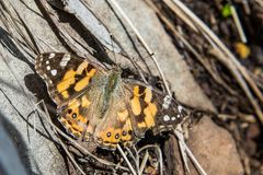 Бабочка монарха на держателе Hotham, викторианских Альпах, Австралии стоковые фото