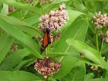 Бабочка монарха на душистом розовом цветке Milkweed стоковые изображения