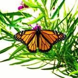 Бабочка монарха на зеленой листве стоковые фото