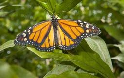 Бабочка монарха над зеленым цветом Стоковая Фотография
