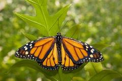 Бабочка монарха над зеленым цветом Стоковое Фото
