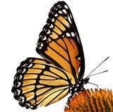 Бабочка монарха на изолированном цветке Стоковое Изображение