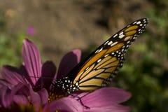 Бабочка монарха на конце цветка эхинацеи вверх Стоковое Изображение