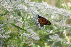Бабочка монарха на крошечных белых цветенях стоковая фотография
