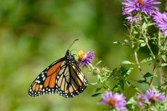 Бабочка монарха на одичалых фиолетовых астрах стоковые фотографии rf