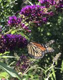 Бабочка монарха на фиолетовом цветени Стоковая Фотография