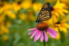 Бабочка монарха на фиолетовом цветке конуса эхинацеи Стоковая Фотография