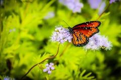 Бабочка монарха на фиолетовом цветке Стоковое Фото
