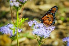 Бабочка монарха на фиолетовом цветке Стоковая Фотография