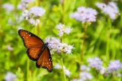 Бабочка монарха на фиолетовом цветке Стоковые Изображения RF