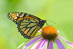 Бабочка монарха на фиолетовом Coneflower на простом зеленом цвете Стоковое Изображение
