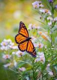 Бабочка монарха на цветке в лете стоковые изображения rf