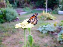 Бабочка монарха на цветке Стоковое Изображение RF