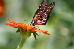 Бабочка монарха на цветке Стоковые Фотографии RF