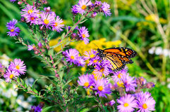 Бабочка монарха на magenta астрах Стоковое Фото
