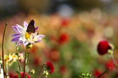 Бабочка монарха подавая на розовом wildflower георгина Стоковые Изображения