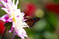 Бабочка монарха подавая на розовом wildflower георгина стоковые фото