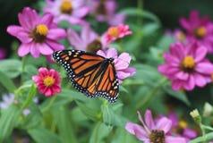 Бабочка монарха подавая на Zinnias лета стоковое изображение