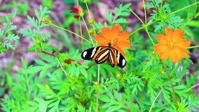 Бабочка монарха подавая на красивом оранжевом цветке на 60fps видеоматериал