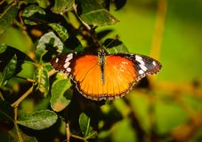 Бабочка монарха при свое крыло распространенное вне Стоковое Фото
