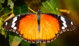 Бабочка монарха при свое крыло распространенное вне Стоковое Изображение