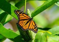 Бабочка монарха с распространенными крылами на milkweed Стоковое Изображение RF