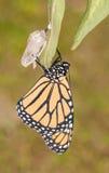 Бабочка монарха через моменты после eclosion стоковые изображения rf