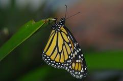Бабочка монарха Стоковые Фото