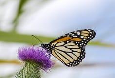 Бабочка монарха Стоковые Изображения