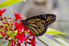 Бабочка монарха Стоковая Фотография RF