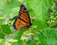 Бабочка монарха Стоковые Изображения RF