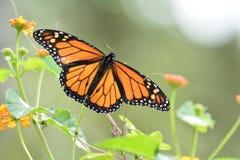 Бабочка монарха Стоковая Фотография