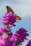 Бабочка монарха Стоковые Фотографии RF