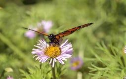 Бабочка монарха, plexippus Даная, в саде бабочки на a Стоковое Изображение RF