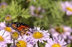 Бабочка монарха, plexippus Даная, в саде бабочки на a Стоковые Изображения RF