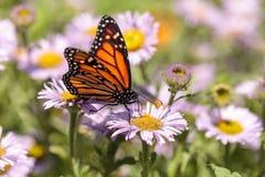 Бабочка монарха, plexippus Даная, в саде бабочки на a Стоковое Изображение
