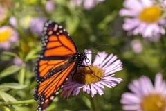 Бабочка монарха, plexippus Даная, в саде бабочки на a Стоковая Фотография RF