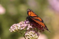 Бабочка монарха, plexippus Даная, в саде бабочки на a Стоковое Фото