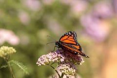 Бабочка монарха, plexippus Даная, в саде бабочки на a Стоковые Изображения