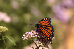 Бабочка монарха, plexippus Даная, в саде бабочки на a Стоковое фото RF