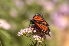 Бабочка монарха, plexippus Даная, в саде бабочки на a Стоковые Фотографии RF
