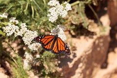 Бабочка монарха, plexippus Даная, в саде бабочки Стоковая Фотография