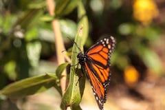 Бабочка монарха, plexippus Даная, в саде бабочки Стоковые Изображения