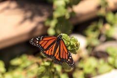 Бабочка монарха, plexippus Даная, в саде бабочки Стоковая Фотография RF