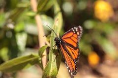 Бабочка монарха, plexippus Даная, в саде бабочки Стоковые Изображения RF
