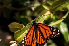 Бабочка монарха, plexippus Даная, в саде бабочки Стоковое Фото