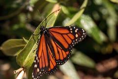 Бабочка монарха, plexippus Даная, в саде бабочки Стоковое фото RF