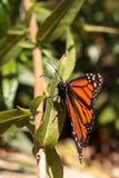 Бабочка монарха, plexippus Даная, в саде бабочки Стоковое Изображение