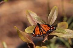 Бабочка монарха, plexippus Даная, в саде бабочки Стоковое Изображение RF