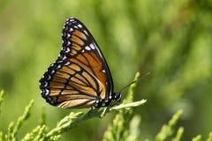 Бабочка монарха 4 - plexippus Даная Стоковая Фотография RF